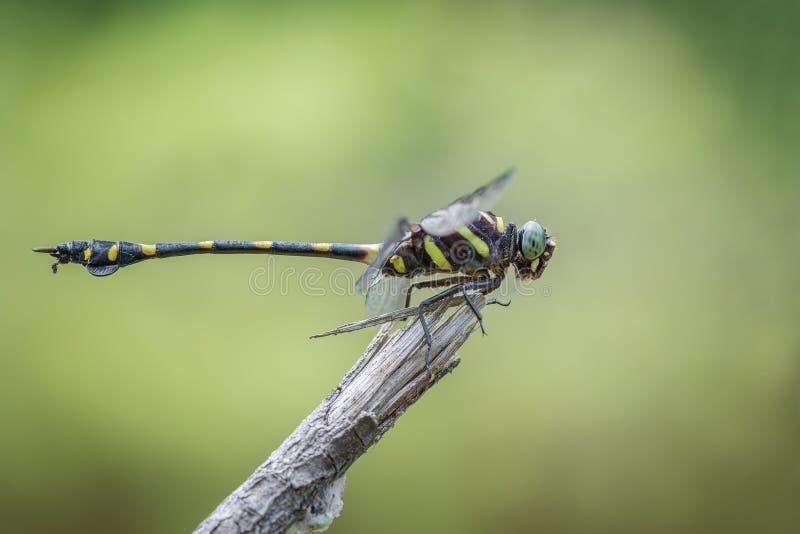 Una libellula Dorato-anellata di vista laterale del primo piano, decoratus di Ictinogomphus fotografia stock