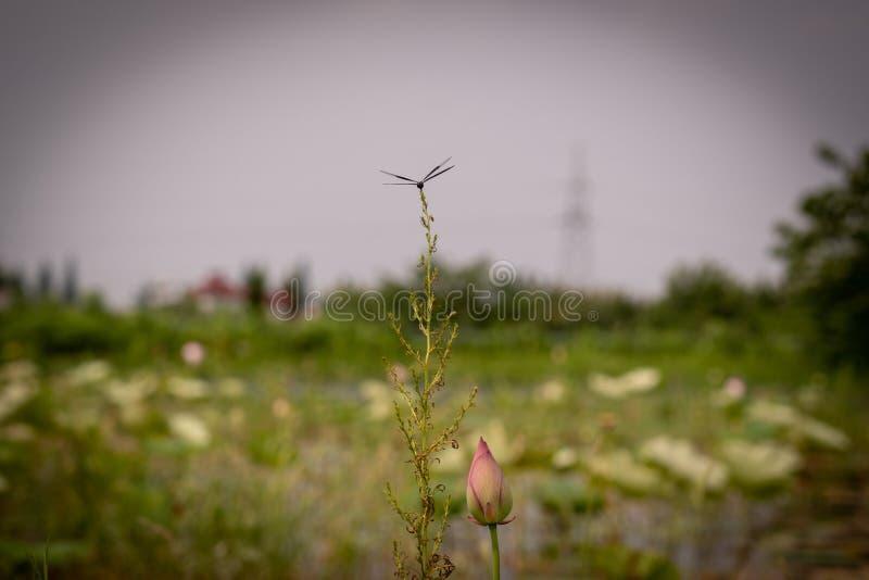 Una libellula Nero-alata riposa su un ramo tenero in una risaia immagini stock libere da diritti