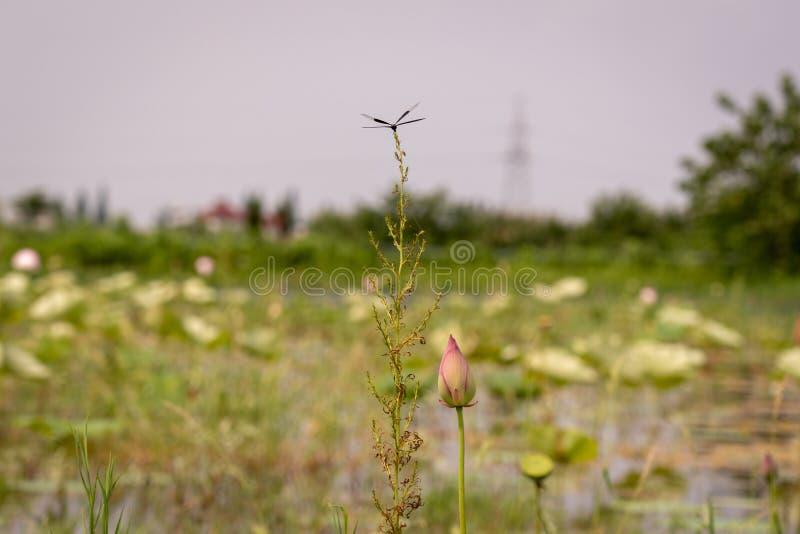 Una libellula Nero-alata riposa su un ramo tenero in una risaia fotografia stock libera da diritti