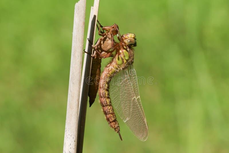Una libellula pelosa acerba di recente emergente, pratense di Brachytron, appollaiantesi su una canna con il suo exuvium fotografia stock libera da diritti