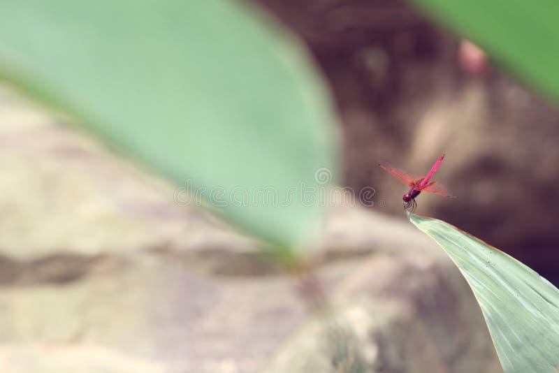 Una libellula rossa su una grande foglia fotografie stock libere da diritti