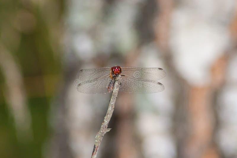 Una libellula si siede su un ramo immagini stock libere da diritti