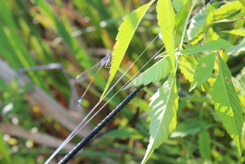 Una libellula su una foglia Erba verde Libellula del turchese L'estate è venuto insetti fotografia stock libera da diritti