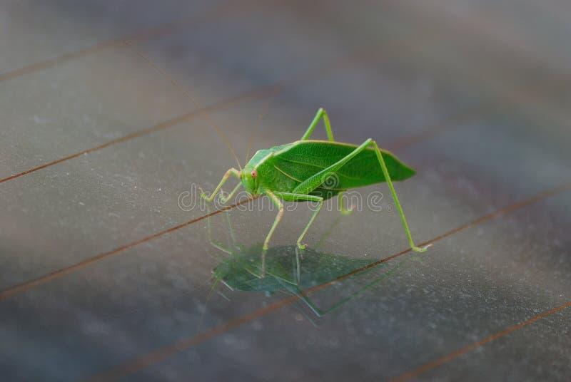 Una locusta verde fotografia stock libera da diritti