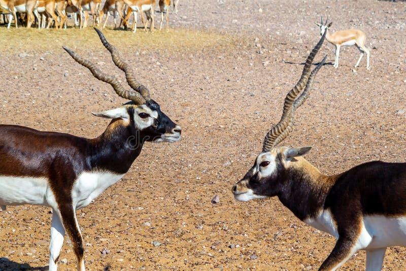Una lotta di due giovani antilopi in un parco di safari su Sir Bani Yas Island, Abu Dhabi, UAE immagini stock