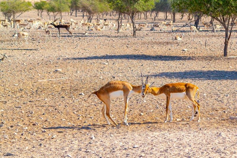 Una lotta di due giovani antilopi in un parco di safari su Sir Bani Yas Island, Abu Dhabi, UAE fotografie stock