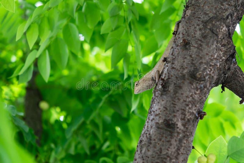 Una lucertola di albero si apposta per aspettare la preda immagini stock libere da diritti