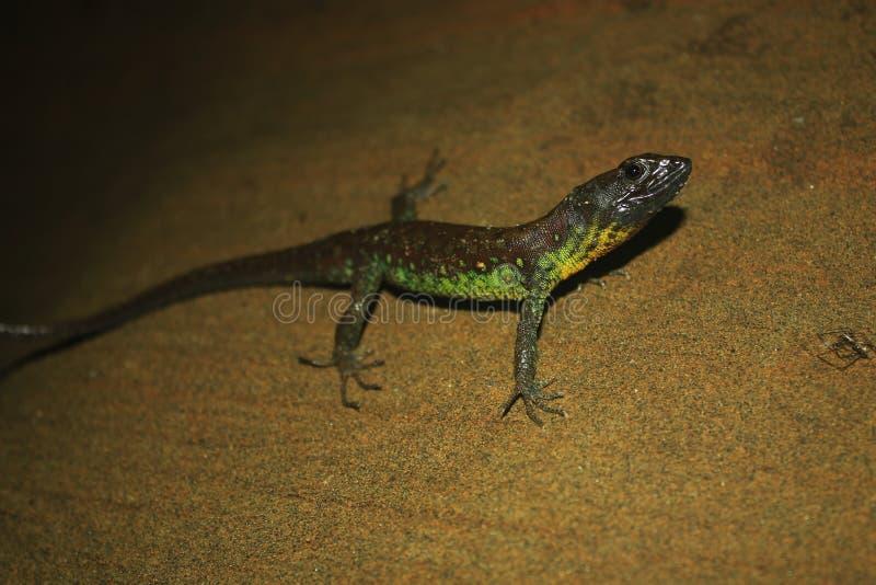 Una lucertola marrone con lo stomaco verde intenso e giallo su una parete della sabbia fotografia stock