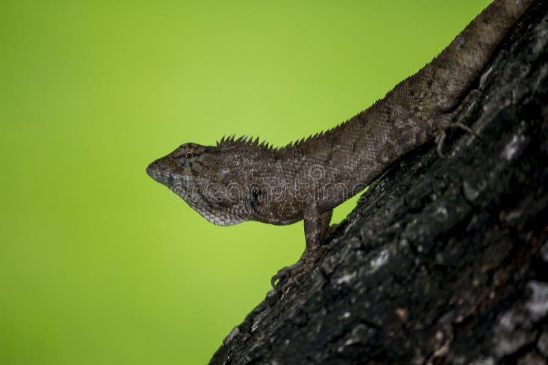 Una lucertola sta scalando su un albero immagini stock