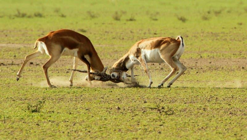 Una lucha territorial entre los blackbucks fotos de archivo libres de regalías