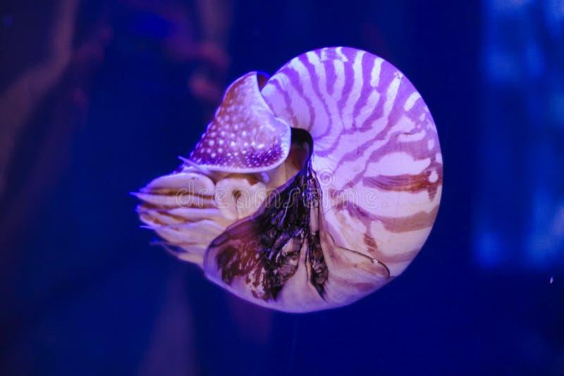 una lumaca tropicale sta nuotando nell'acqua immagini stock libere da diritti