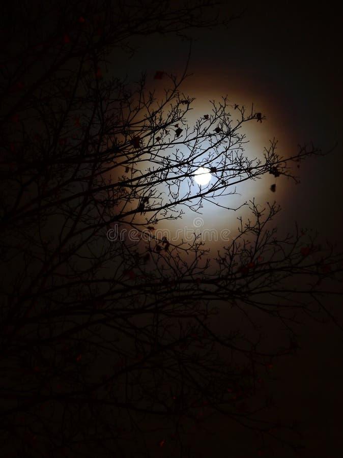 Una luna con un alone dietro i rami di un albero fotografie stock libere da diritti