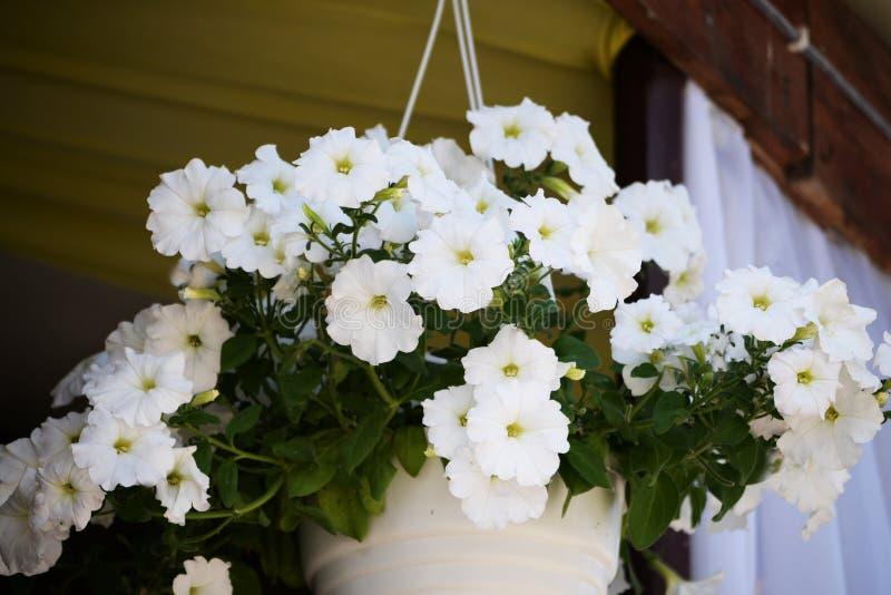 Una maceta con el colgante hermoso de las flores blancas imagenes de archivo