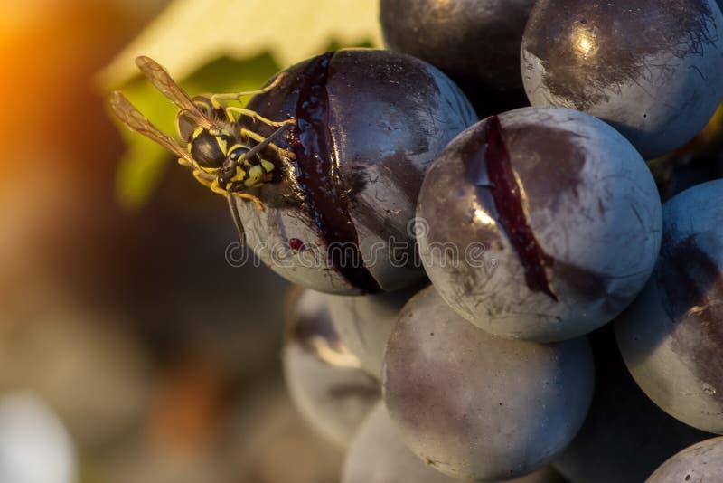 Una macro de una avispa que come la fruta de la uva foto de archivo