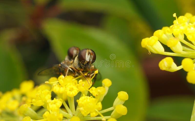 Una macro de un par de hoverflies que se acoplan en una flor amarilla imagen de archivo libre de regalías