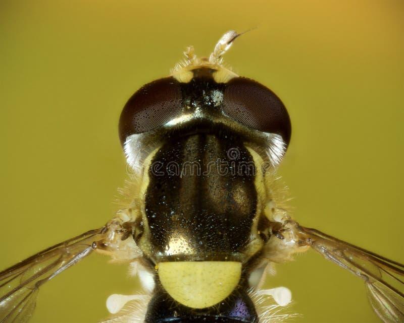 Una macro dorsal de un minúsculo dañado hoverfly fotos de archivo libres de regalías