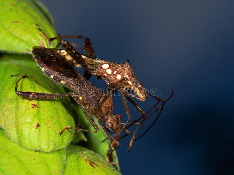 Una macro foto di due insetti di Brown facendo sesso sulla foglia verde fotografia stock