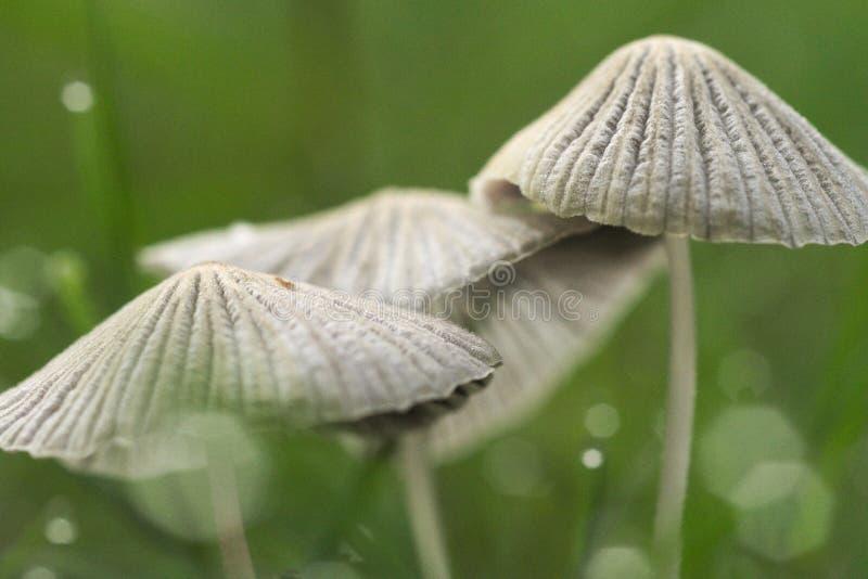 Una macro rugiadosa di 482 funghi immagini stock