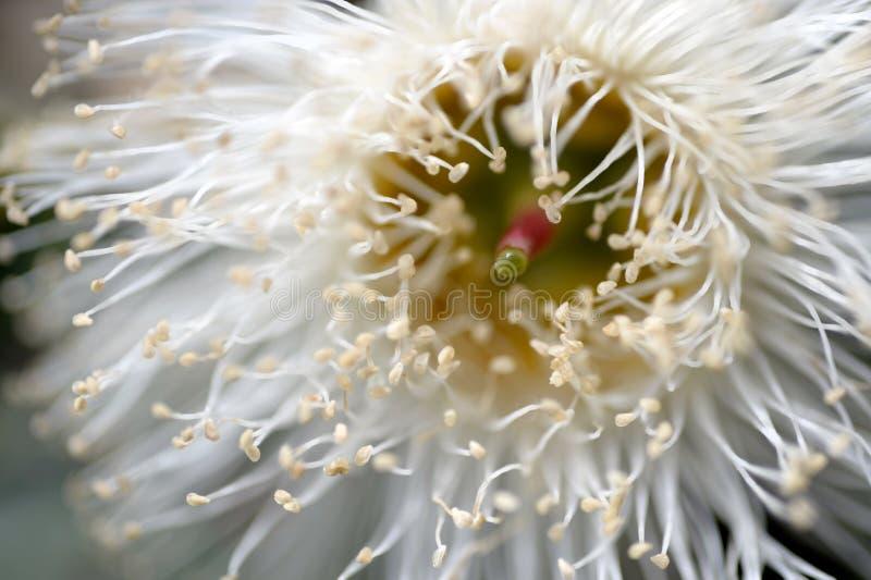 Una macro vista di un fiore dell'eucalyptus fotografia stock