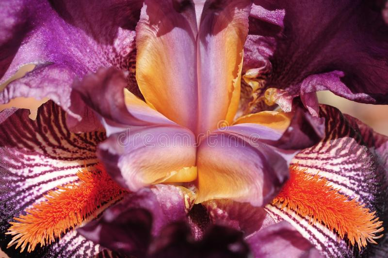 Una macro vista di un'iride di fioritura immagini stock libere da diritti