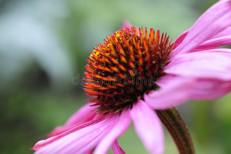 Una macro vista laterale di un coneflower porpora, anche conosciuta come l'echinacea purpurea fotografie stock
