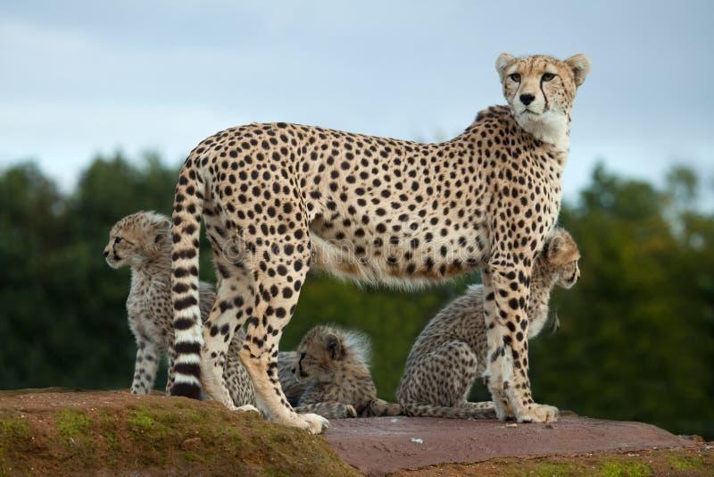 Una madre del ghepardo con i cubs fotografia stock libera da diritti