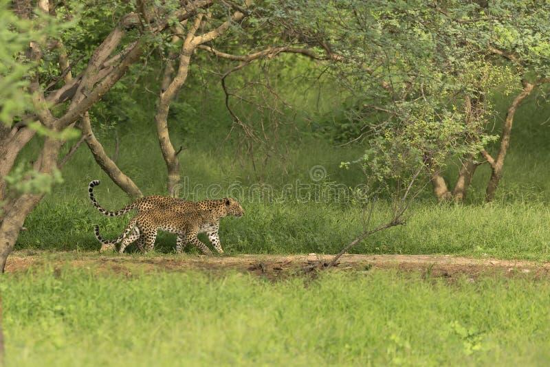Una madre india del leopardo y su cachorro que caminan en unísono dentro de una selva india foto de archivo libre de regalías
