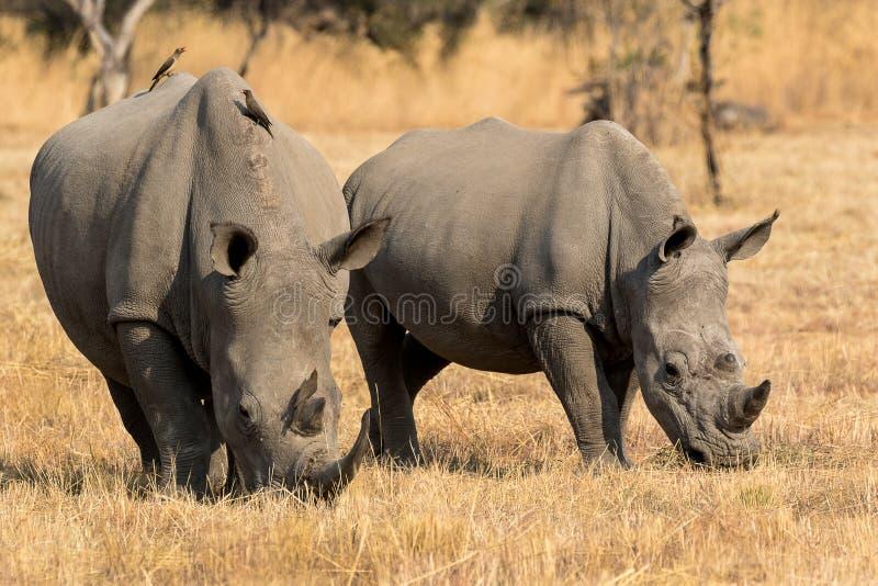 Una madre y un becerro del rinoceronte fotos de archivo libres de regalías