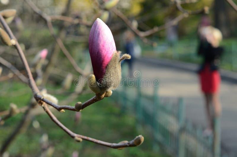 Una magnolia de florecimiento en el parque fotos de archivo libres de regalías