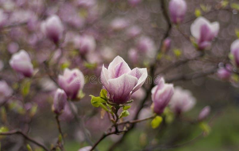 Una magnolia púrpura fotos de archivo