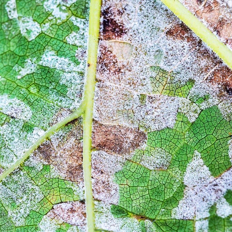 Una malattia pericolosa della muffa dell'uva - lat della muffa lanuginosa Plasmo fotografie stock