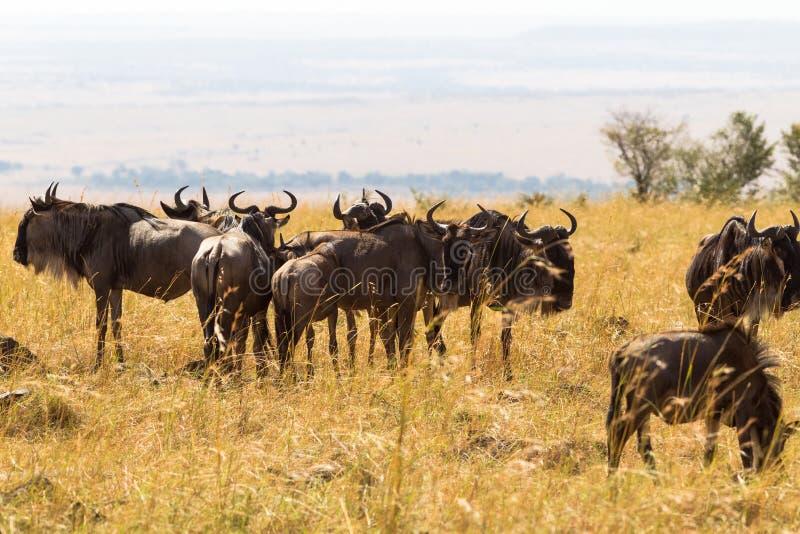Una manada de antílopes salvajes en la sabana Masai Mara, Kenia foto de archivo libre de regalías