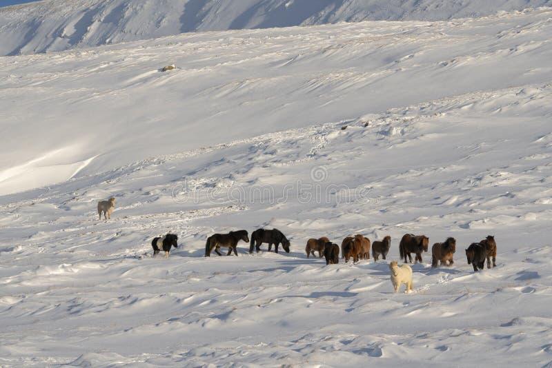 Una manada de caballos islandeses en invierno fotografía de archivo