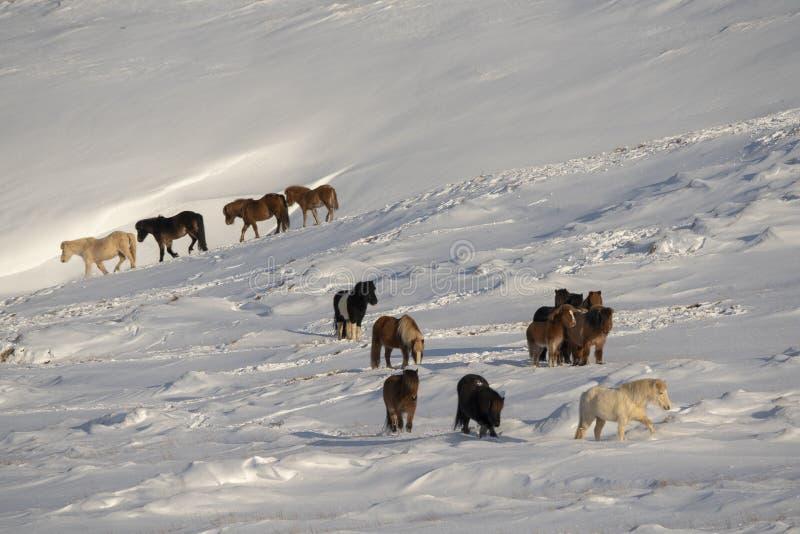 Una manada de caballos islandeses en invierno foto de archivo