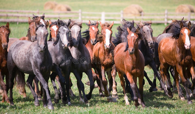 Una manada de caballos jovenes fotos de archivo