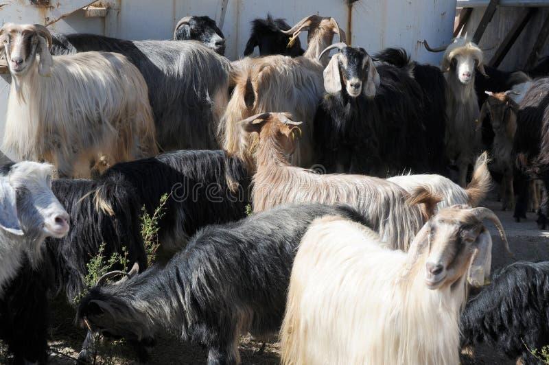 Una manada de cabras en una granja en Anatolia del este, Turquía fotos de archivo libres de regalías