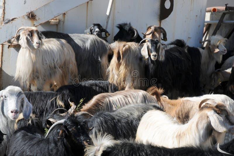 Una manada de cabras en una granja en Anatolia del este, Turquía foto de archivo