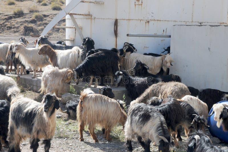 Una manada de cabras en una granja en Anatolia del este, Turquía imagen de archivo