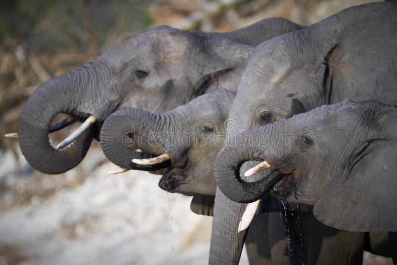 Una manada de elefantes africanos fotografía de archivo libre de regalías