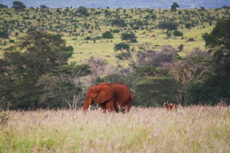 Una manada de elefantes africanos en Savannah Grassland contra un fondo de la montaña fotos de archivo