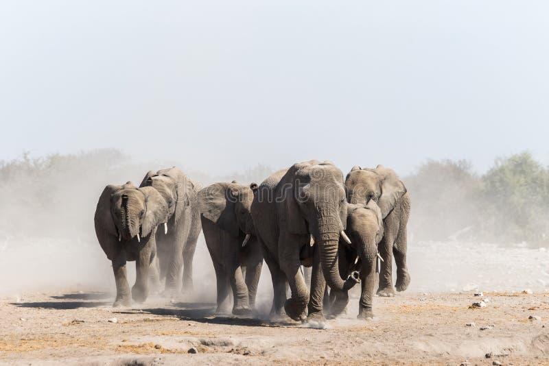Una manada de elefantes africanos se acerca a un waterhole en el parque nacional de Etosha fotografía de archivo libre de regalías