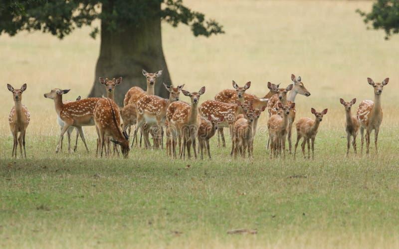 Una manada de hinds con mantchuricus de nipón del Cervus de los ciervos de su de los bebés del Manchurian de Sika ` s Sika de los fotografía de archivo libre de regalías