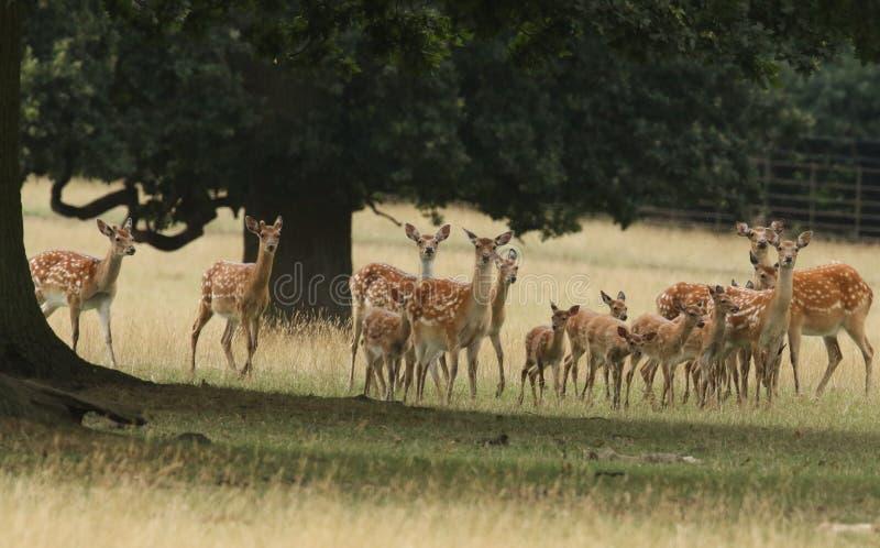 Una manada de hinds con mantchuricus de nipón del Cervus de los ciervos de su de los bebés del Manchurian de Sika ` s Sika de los imagen de archivo libre de regalías