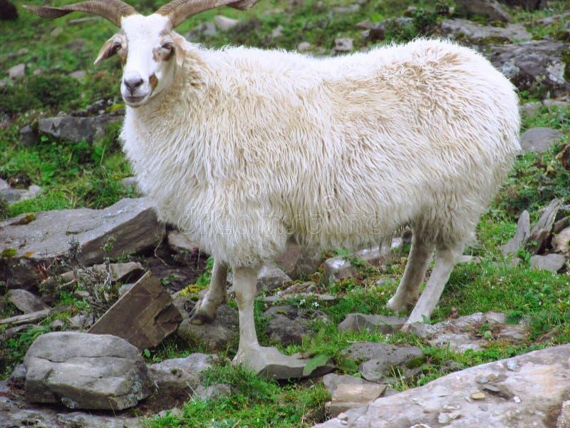 Una manada de la cabra en el rockfill fotografía de archivo libre de regalías