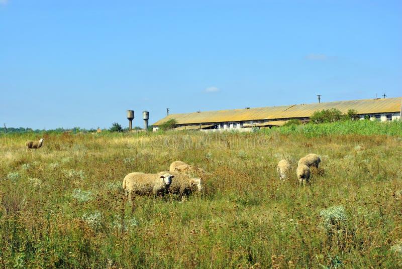 Una manada de las ovejas que pastan en un prado cerca de una granja vieja imagen de archivo