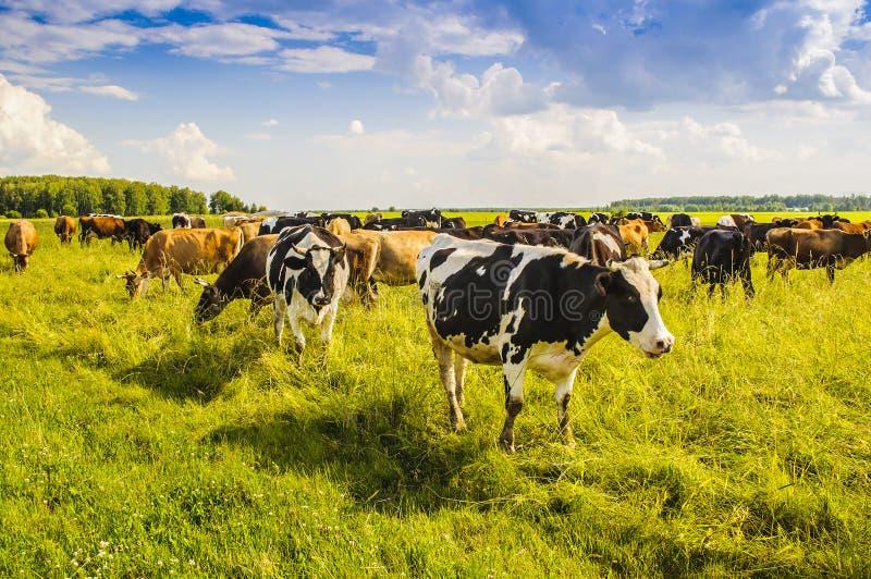 Una manada de las vacas que pastan en el campo en un día de verano soleado Región de Moscú, Rusia foto de archivo