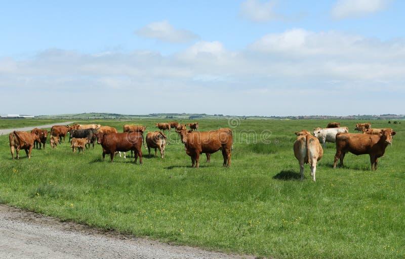 Una manada de las vacas que pastan en un prado en un día soleado hermoso en Inglaterra imagen de archivo libre de regalías