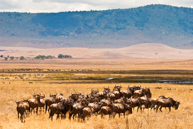 Una manada de los antílopes del wildebeest fotografía de archivo libre de regalías