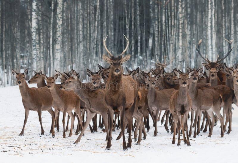 Una manada de los ciervos de diversos sexos y de diversas edades, llevados por un varón joven curioso en el primero plano Clo de  fotos de archivo libres de regalías