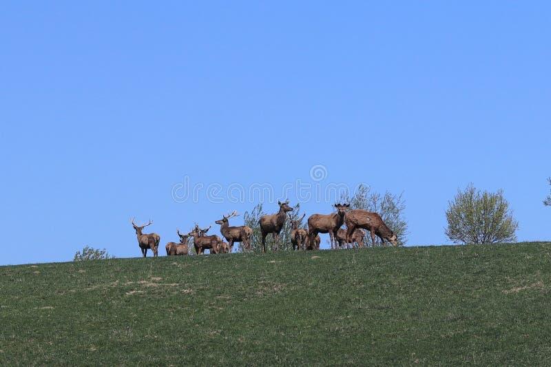 Una manada de los ciervos que pastan en la primavera en un prado verde Animales salvajes en cautiverio Protección de la naturalez fotos de archivo libres de regalías